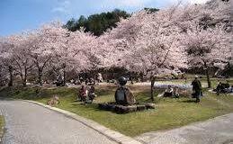 広島土師ダム桜