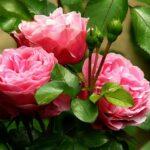 湧永満之記念庭園のバラ園の開花情報!アクセスと食事処案内!