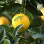 皮まで食べられる瀬戸田のレモンは初恋の味がする!