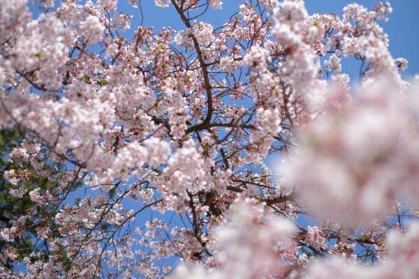 "<span class=""title"">三次は見どころ満載!桜の名所尾関山公園、もののけミュージアムも見逃せない</span>"