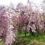 広島造幣局桜2018見ごろ「花のまわり道」アクセスと駐車場案内